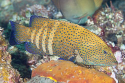 Groupers and Fairy basslets